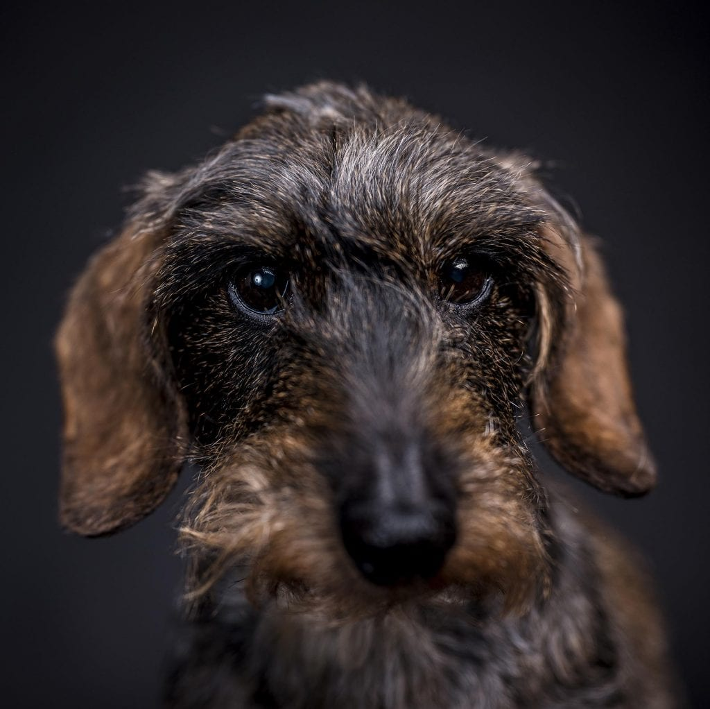 pet-photography-dashhund